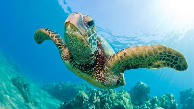 green-sea-turtle-swimming.jpg